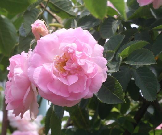 香りバラ・ピンク系バラ セレスシャル