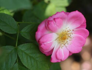 香りバラ・ピンク系バラ エルフルト