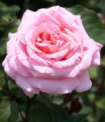 香りバラ・ピンク系バラ フレデリックミストラル