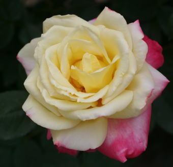香りバラ フレンチパフューム