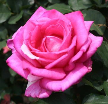 香りバラ・ピンク系バラ パローレ