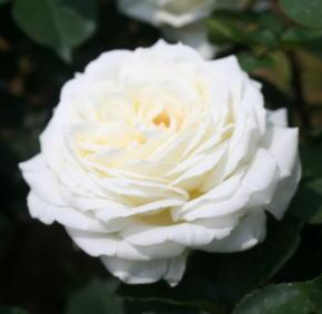 香りバラ・白系バラ ロイヤルプリンセス