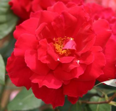 香りバラ・赤系バラ クリストファーストーン