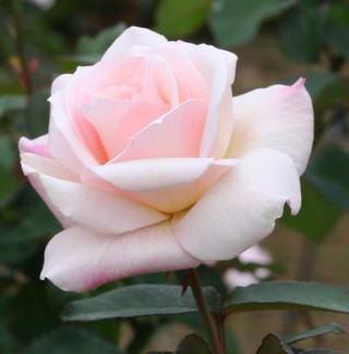 香りバラ・ピンク系薔薇 オフェリア 画像