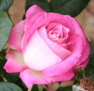 香りバラ・ピンク系バラ シルバーライニング