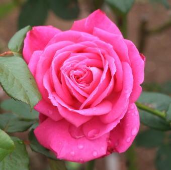 香りバラ・ピンク系バラ ファースト ブラッシュ