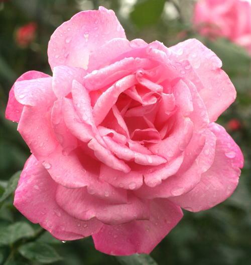 香りバラ・ピンク系バラ グレイス ドゥ モナコ