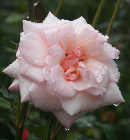 香りバラ・ピンク系バラ オフェリア