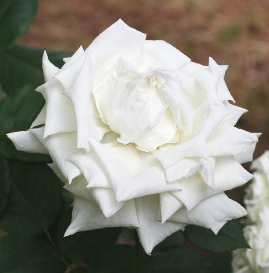 香りバラ・白系バラ ヨハネパウロ二世