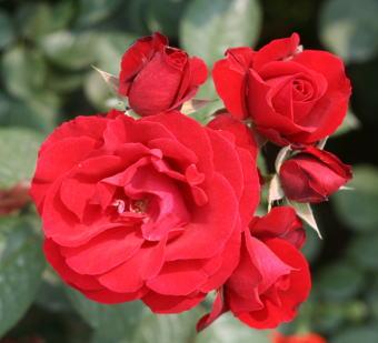 黒バラ・赤系バラ プスタ