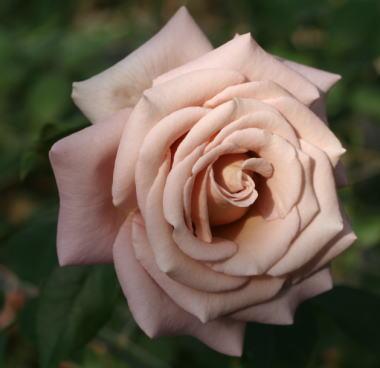 紫のバラ エクストリーム