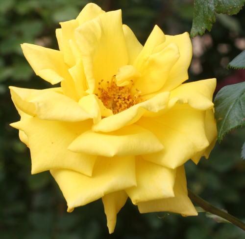 香りバラ・黄色系バラ ラディアントパフューム