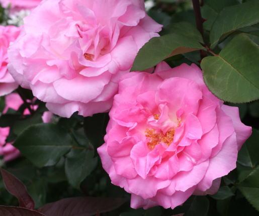 香りバラ・ピンク系バラ ビバリー