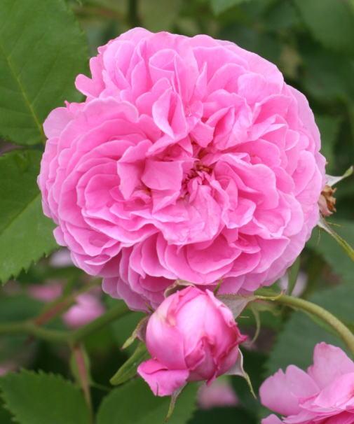 香りバラ・ピンク系バラ ルイーズ・オディエ