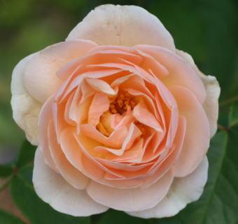 香りバラ・オレンジ系バラ スウィート ジュリエット