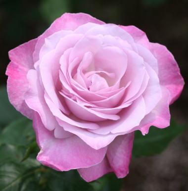 紫のバラ・香りバラ ライラック ビューティー