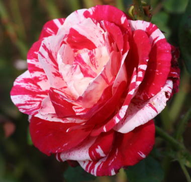 絞りバラ・香り薔薇 センチメンタル