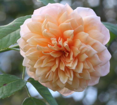 香りバラ・オレンジ系バラ グレイス