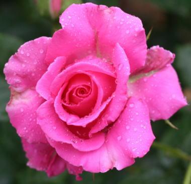 香りバラ・ピンク系バラ フレグラントレディー
