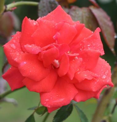 香りバラ・赤系バラ ドフトボルケ