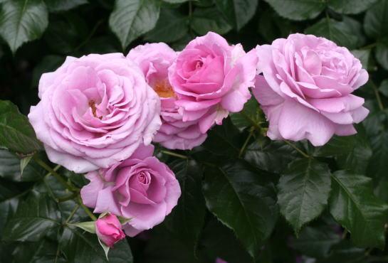 紫のバラ・香りバラ エンチャンティッド イブニング