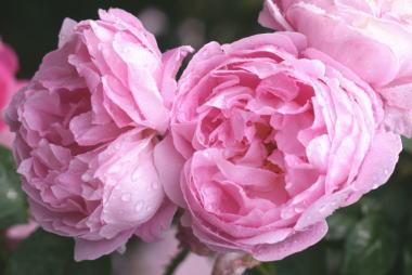 香りバラ・ピンク系バラ メアリーローズ