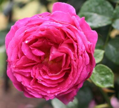 紫のバラ・香りバラ オセロ
