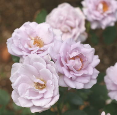 紫のバラ・香りバラ ラブリーブルー