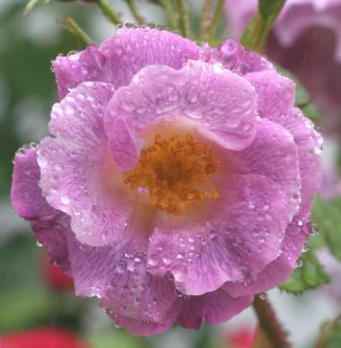 紫のバラ・香りバラ ブルー フォー ユー