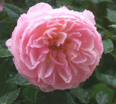 香りバラ・ピンク系バラ クイーンズロンドンチャイルド