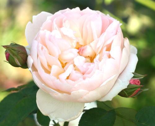 香りバラ・ピンク系バラ ジェントル・ハーマイオニー