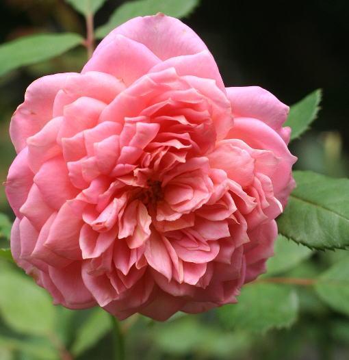 香りバラ・ピンク系バラ ジュビリーセレブレーション