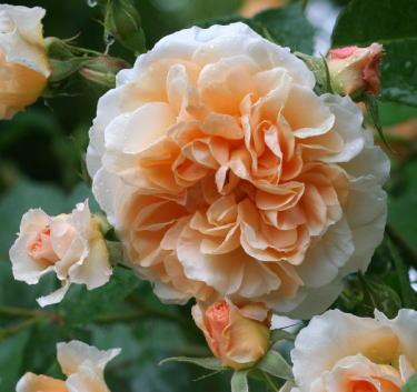 香りバラ・オレンジ系バラ ペガサス