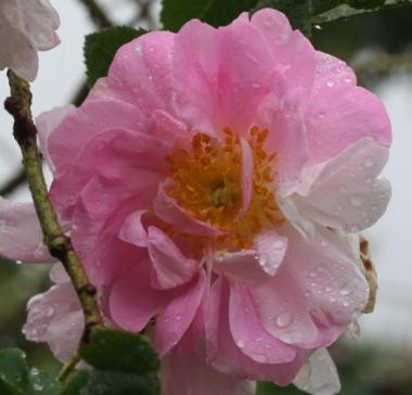 香りバラ・ピンク系バラ アメリア