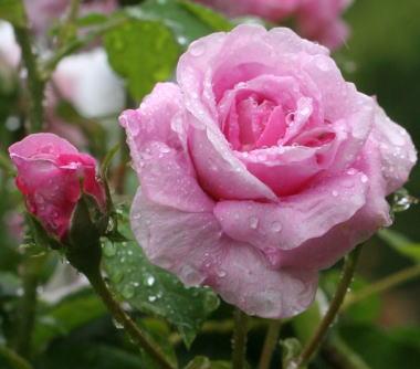 香りバラ・ピンク系バラ イスパハン