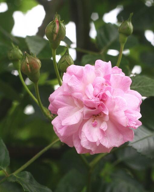 紫のバラ・香りバラ ラベンダー・ラッシー