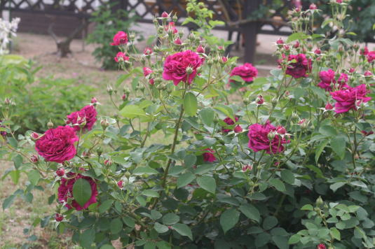 紫のバラ・黒バラ・香りバラ ウィリアム・シェークスピア2000