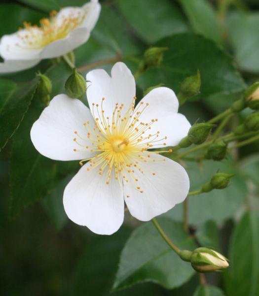 原種系バラ・香りバラ・白系バラ ロサ・フィリップス・キフツゲイト