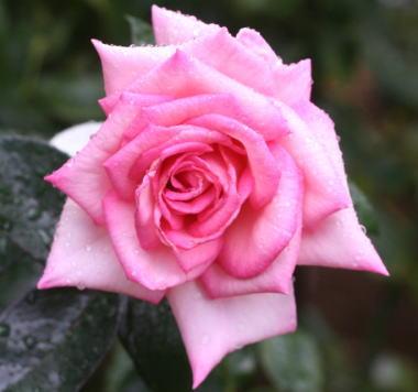 香りバラ・ピンク系バラ ウィミィ