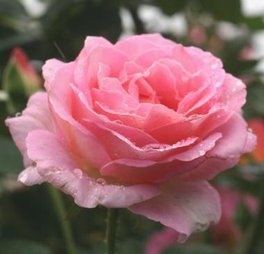 香りバラ・ピンク系バラ エル