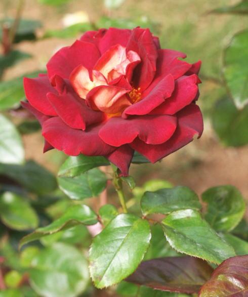 黒バラ・茶系バラ ブラックゴールド