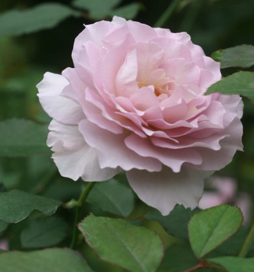 紫のバラ ノヴァーリス