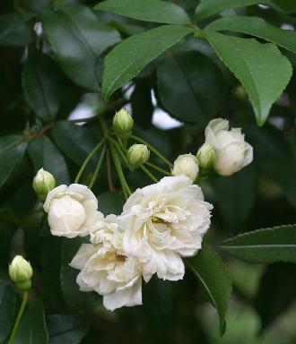 ロサ・バンクシア・アルバ(白モッコウバラ八重)