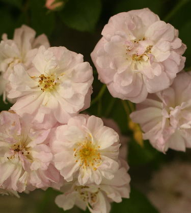 rose-rose0676