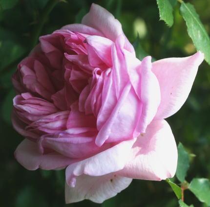 香りバラ・ピンク系バラ ローズ ポンパドゥール