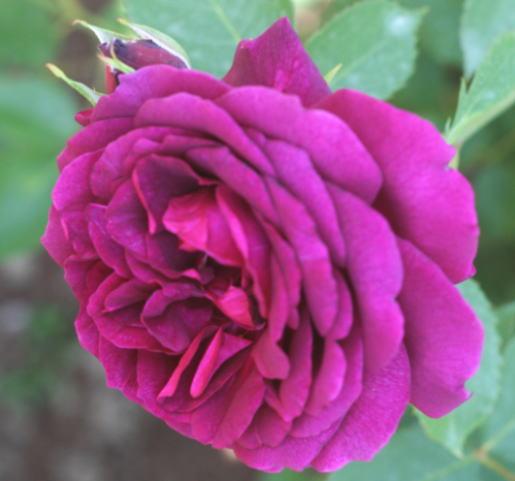 紫のバラ・黒バラ・香りバラ 真夜