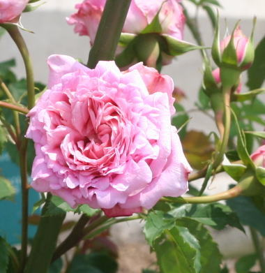 香りバラ・ピンク系バラ ビアンヴニュ