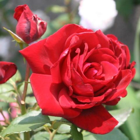 黒バラ・香りバラ・赤系バラ ルルージュエルノアール