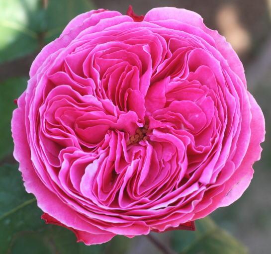 紫のバラ・香りバラ ゆうぜん