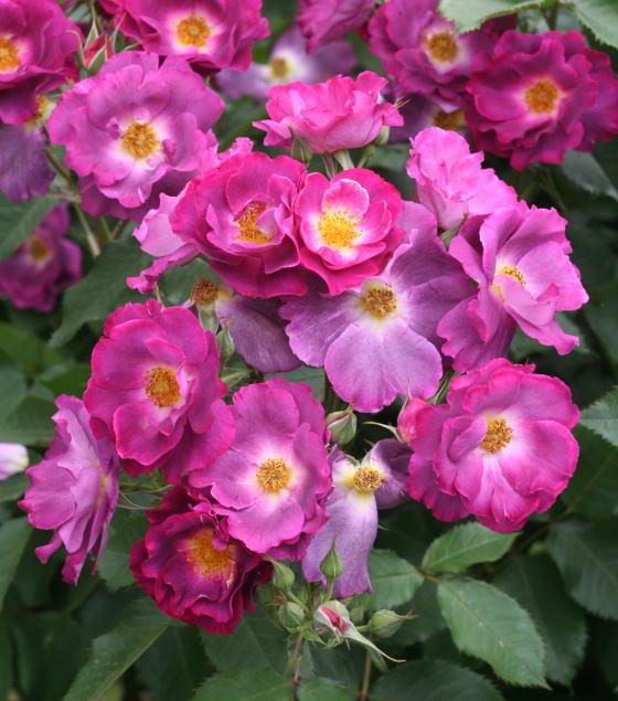 紫のバラ・香りバラ プリンセスシビルドゥルクセンブルグ